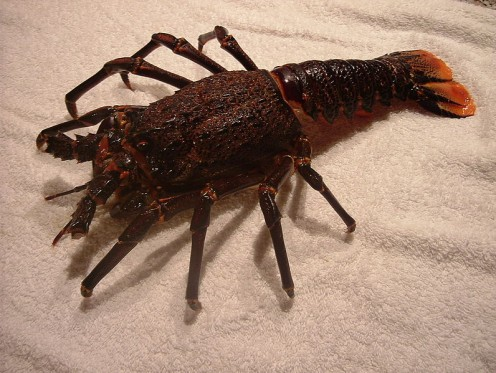 South African Spiny Lobster