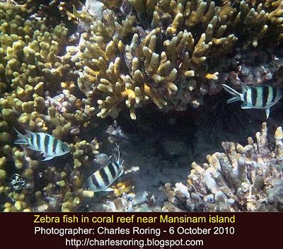 some zebra fish in the corals