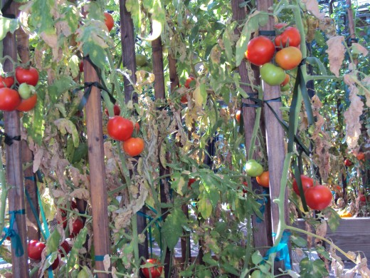 The tomatoes grow up and around the wood stakes.