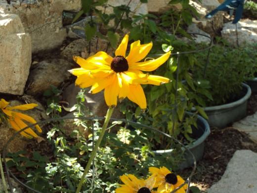 Another sunflower along the garden path.