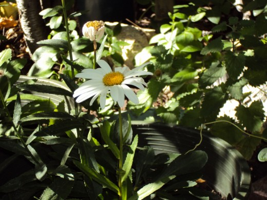 Another picture of the daisies.