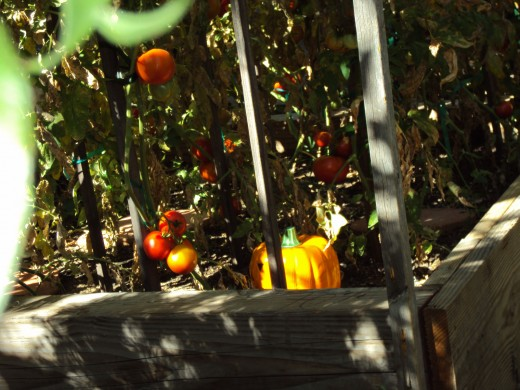 The red tomatoes are ripening in the garden.