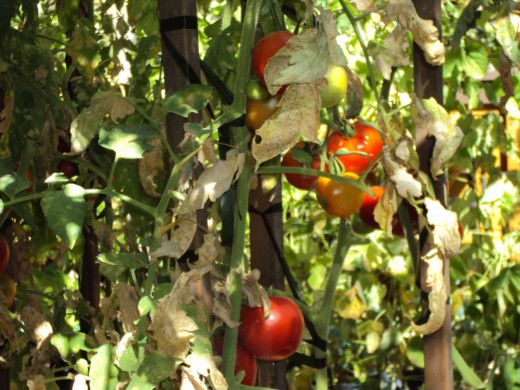 Tomatoes contrast beautifully with the green clrophyled leaves.