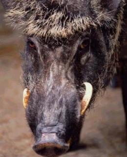 Wild Boar Tusks