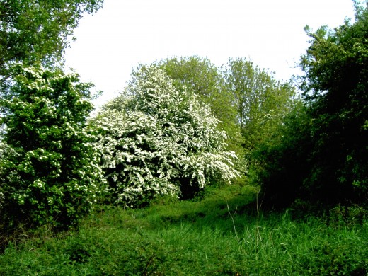 hawthorn in spring time