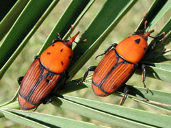 Red Palm Weevils