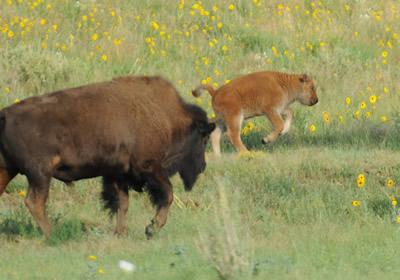 Rockey Mountain Arsenal's Wildlife Preserve.