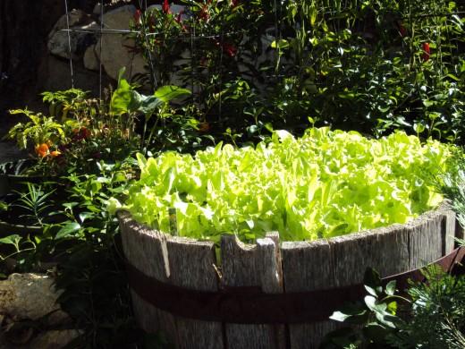 Lettuce is another lovely garden delight.