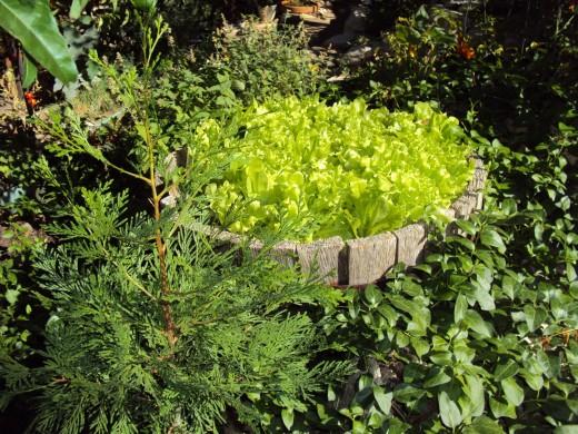 More garden lettuce.