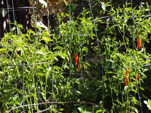 The chili peppers add a vibrancy to your garden that is both striking and appealing.