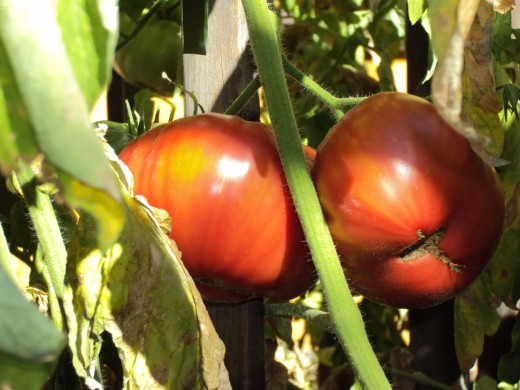 A lovely closeup picture of a clump of lovely ripe tomatoes, which would taste lovely in pasta.