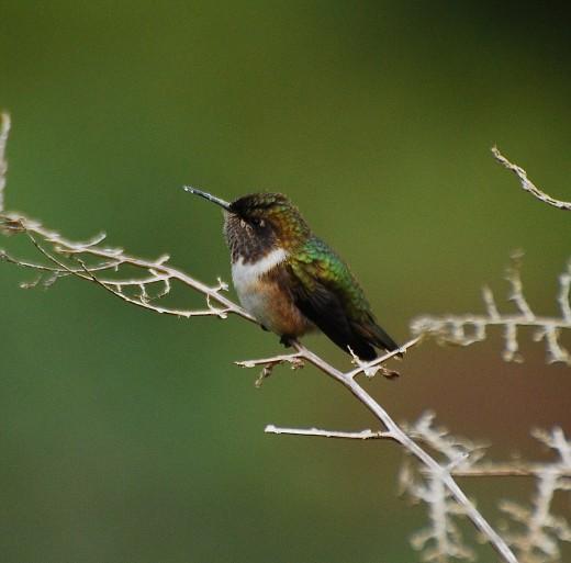 Volcano Hummingbird at the Mirador de Quetzals, Costa Rica, 080226. Selasphorus flammula./CC FlickR