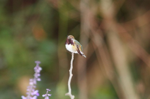 Bumblebee Hummingbird (Atthis heloisa)