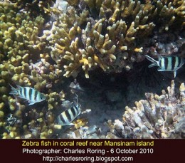 Zebra fish in the coral reef of tropical island of Mansinam