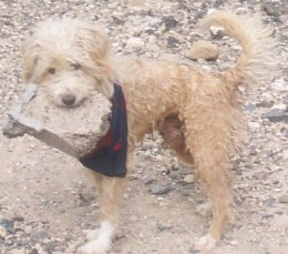 Scampydog carrying a rock