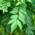 Kadipatta - Curry Leaves