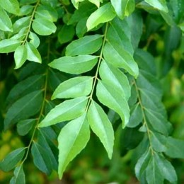 Kadipatta - Curry Leaves