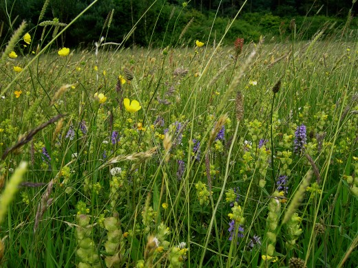 Hay meadow redolent with wild flowers.
