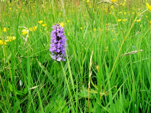 Orchids are the queens of grassland flora.