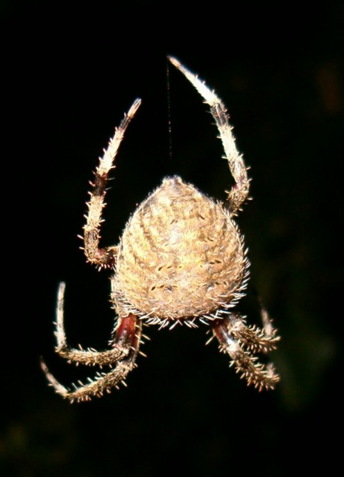 A garden spider hanging in the darkness.