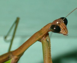 A curious Praying Mantis.