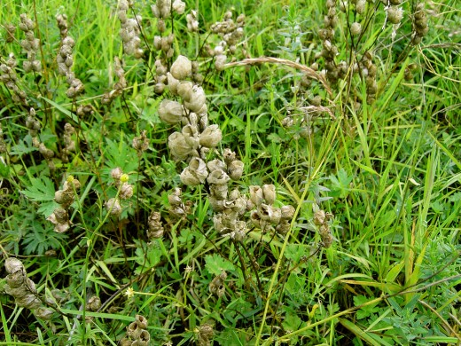 The swollen seed vessels of the yellow rattle.
