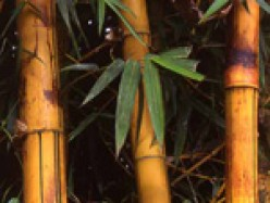 Bamboo is one of the Answers