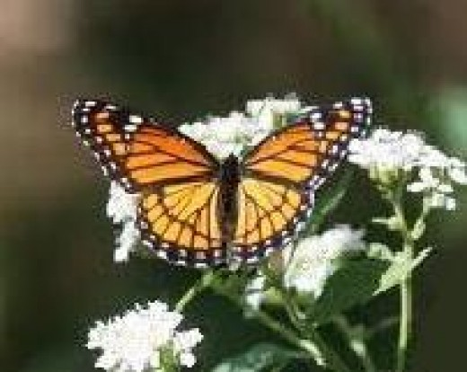 Viceroy butterfly on white milkweed