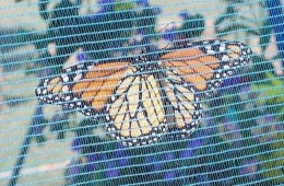 The underside of a Monarch butterfly inside the holding tent.