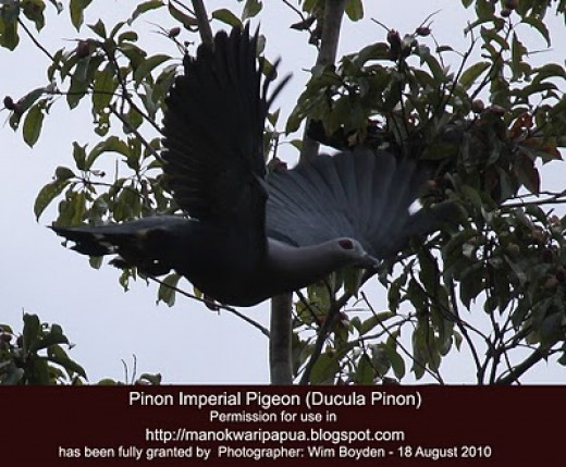 "Pinon Imperial Pigeon (Ducula Pinon) in the tropical rainforest of Senopi village of Tambrauw Mountains in Manokwari of West Papua - ""the Republic of Indonesia"""