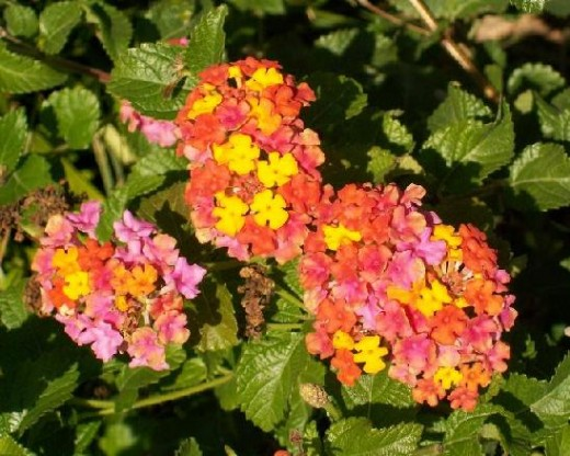 Bright orange Lantana is a vigorous nectar blossom for butterflies.