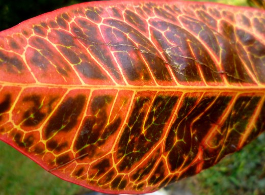Another colorful underside of a croton leaf