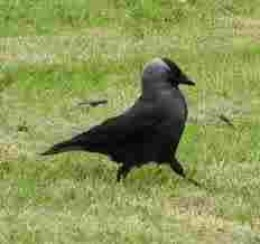 I live here, too!  The personable Jackdaw