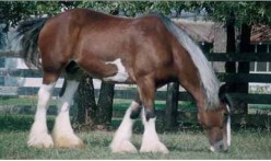 How Big is a Draft Horse?