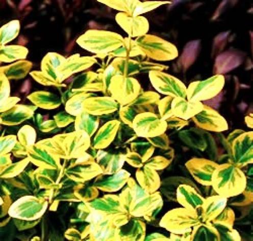 A bright bush like Euonymus can really brighten up a dark corner.