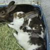 How To Litter Train Two Or More Rabbits