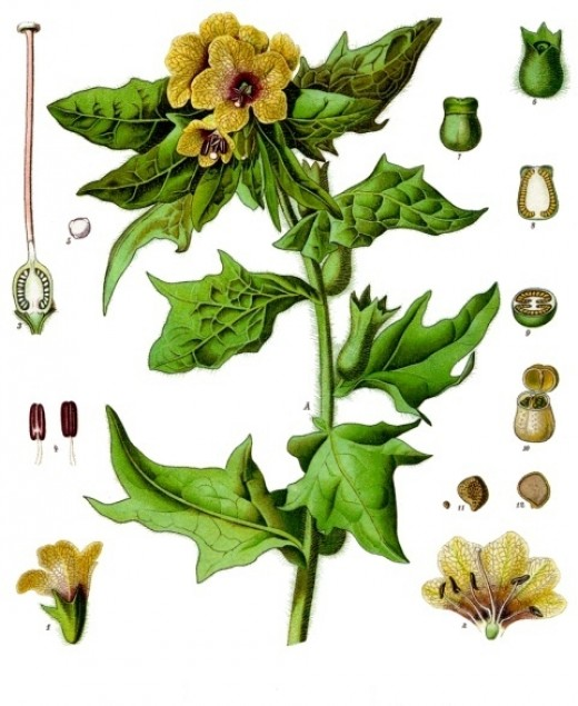 components of henbane