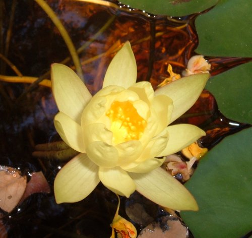 Yellow water lily. Photo by Steve Andrews