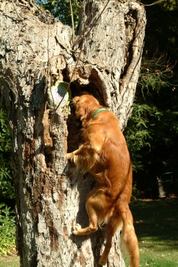 The dog's confidence was growing more and more with each retrieve, as were his shoulder, hip, and back muscles.