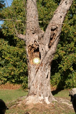 The disc as it started low in the tree, as a tempting tool for training.