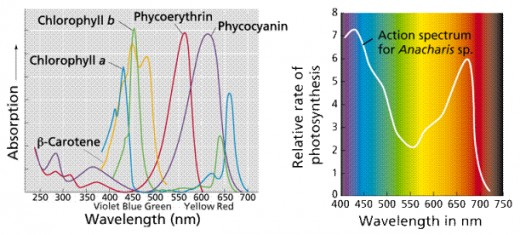 Absorption spectrum of several plant pigments (left) and action spectrum of elodea (right), a common aquarium plant used in lab experiments about photosynthesis