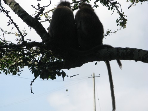 Monkey Soulmates !  Eyeing a picnic party below, about to open their food packages !