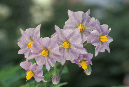 Potato flowers are similar in form to those of the nightshades