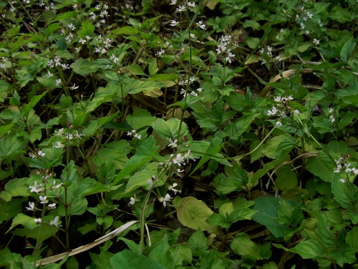 ENCHANTERS NIGHTSHADE-belongs to the Willowherb family.