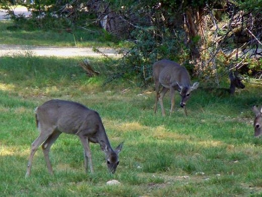 More of the Local Deer.