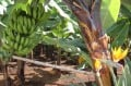 Bananas - an important food crop in Tenerife in the Canary Islands