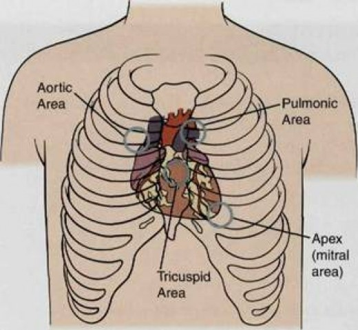Normal Areas of Cardiac Auscultation