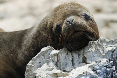 The Australian sea-lion is a very endangered animal on the Australian endangered species list.