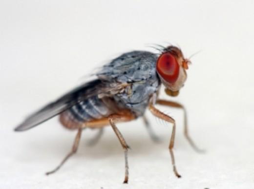 DROSOPHILA -or- FRUIT FLY