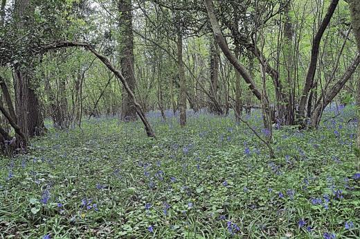 BlueBell Wood Stalbridge Dorset